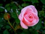 poze desktop cu flori frumoase