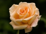 imagini cu trandafiri galbeni