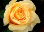 poze cu trandafiri galbeni