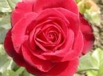 fotografii cu trandafiri rosii