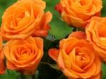 trandafiri pentru gradina