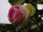 imagini cu flori frumoase