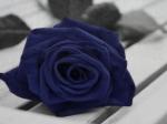 poze cu trandafiri albastri