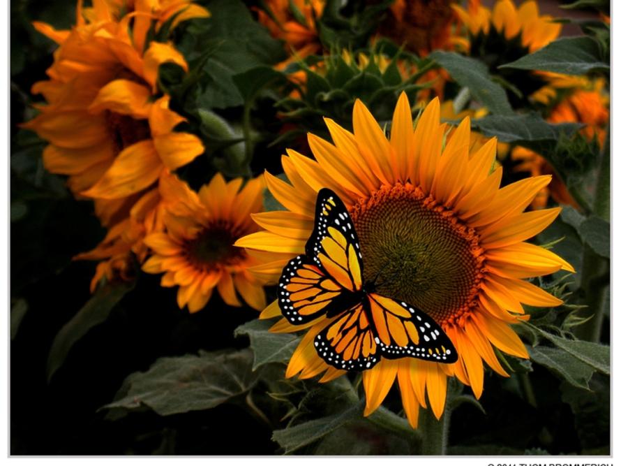 poze cu floarea soarelui