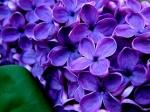 poze cu flori de liliac