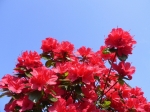 imagini cu flori rosii