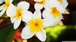 exotic_flowers_plumerias-wallpaper-1920x1080