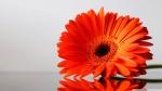 gerbera_daisies_flowers_3-wallpaper-1920x1080
