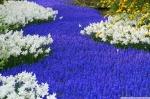 grape_hyacinths_and_daffodils_keukenhof_gardens_lisse_holland-wallpaper-2000x1333