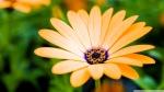 orange_cape_daisy_flower-wallpaper-1920x1080