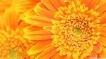 orange_yellow_gerber_daisies_macro-wallpaper-2560x1440
