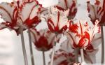 parrot_tulips_2-wallpaper-1920x1200