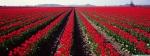red_tulips_farm_dual_monitor-wallpaper-3200x1200