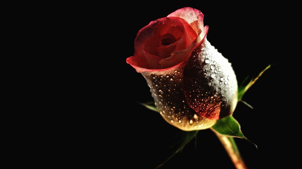 Rose-Flower-Wallpaper-red-rose-desktop