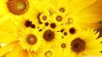 sunflowers_4-wallpaper-1920x1080
