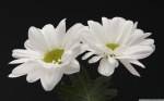 two_white_flowers-wallpaper-2560x1600