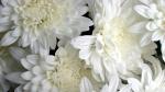 white_flowers-wallpaper-1920x1080