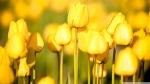 yellow_tulips_2-wallpaper-1920x1080
